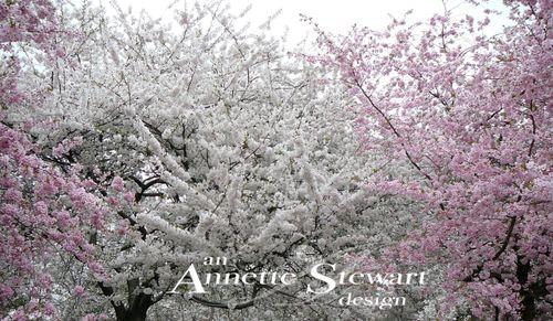 Cherry blossom 5